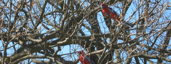 canberra-rosellas