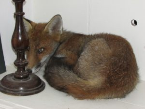 Fox in Hastings